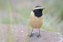 Buff Chat Stockbild