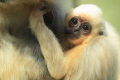Buff-cheeked gibbon Stock Image