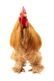 Buff cochin rooster Royalty Free Stock Photos