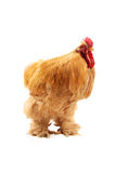 Buff cochin rooster Stock Images