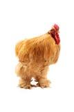 buff cochin rooster Arkivbilder