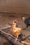 Buff colored Cochin chicken. Scratches the ground and pecks for food in a farm yard Stock Image