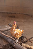 Buff colored Cochin chicken. Scratches the ground and pecks for food in a farm yard Stock Images