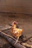 Buff colored Cochin chicken Stock Image