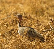 The Buff-crested Bustard Royalty Free Stock Photo
