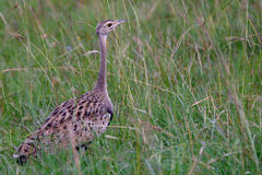 Buff-crested bustard, Maasai Mara Game Reserve, Kenya Royalty Free Stock Images