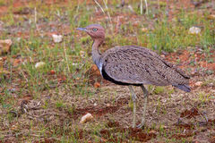 Buff Crested Bustard Stock Photography