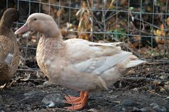 Buff Duck Hen fotos de archivo