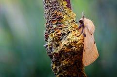 Buff Ermine Macro Moth, luteum de Spilosoma que descansa sobre una ramita de Lichenised foto de archivo