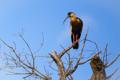 Buff-necked Ibis in Bare Tree Royalty Free Stock Photo