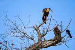 Buff-necked Ibis in Bare Tree Stock Photo