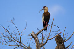 Buff-necked Ibis in Bare Tree Royalty Free Stock Image