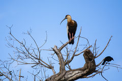 Buff-necked Ibis in Bare Tree with Crow Royalty Free Stock Photos