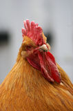 Buff Orpington. Orange colored Buff Orpington rooster portrait Stock Images