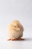Buff Orpington baby chick with one eye opened. Newly hatched yellow Buff Orpington baby chick looking around on a white background Royalty Free Stock Photo