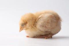Buff Orpington baby chick sleeping. Newly hatched yellow Buff Orpington baby chick sleeping on a white background Stock Images