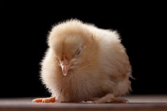 Buff Orpington baby chick standing up while sleeping. Macro shot of newly hatched Buff Orpington baby chick on a black background Royalty Free Stock Photos