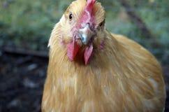 Buff Orpington Chicken Staring Straight Ahead Stock Photos