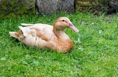 Buff Orpington-Ente, die sich auf Gras hinlegt Stockbilder
