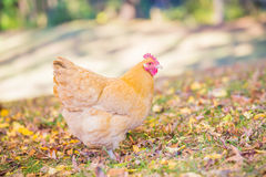 Buff orpington hen foraging in the fall leaves. Buff orpington chicken with autumn leaves in the background Stock Photography