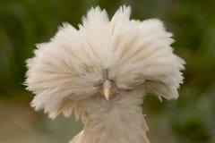 Buff Polish Chicken stock images
