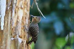 Buff-rumped woodpecker. (Meiglyptes grammithorax) in Thailand Stock Image