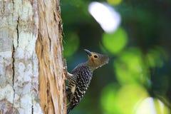 Buff-rumped woodpecker. (Meiglyptes grammithorax) in Thailand Stock Photo