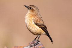 Buff-streaked Chat Royalty Free Stock Images