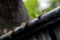 Buff Striped Keelback Snake Stock Images