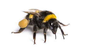 Buff-tailed bumblebee, Bombus terrestris, isolated Stock Images