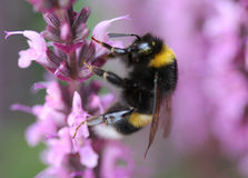 Buff tailed bumblebee. Collecting nectar from a purple flower in the garden Stock Photos
