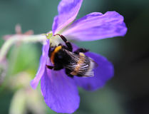 Buff tailed bumblebee. Collecting nectar from a purple flower in the garden Stock Photo