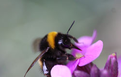 Buff tailed bumblebee. Collecting nectar from a purple flower in the garden Stock Image