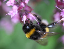 Buff tailed bumblebee. Collecting nectar from a purple flower in the garden Royalty Free Stock Photos