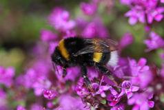 Buff tailed bumblebee. Collecting nectar from a purple flower in the garden Stock Images