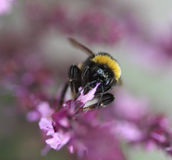 Buff tailed bumblebee. Collecting nectar from a purple flower in the garden Royalty Free Stock Images
