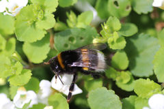 Buff tailed bumblebee. Collecting nectar from a white flower in the garden Stock Photo