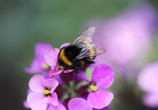 Buff tailed bumblebee. Collecting nectar from a white flower in the garden Royalty Free Stock Photography