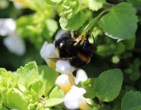 Buff tailed bumblebee. Collecting nectar from a white flower in the garden Stock Photography