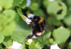 Buff tailed bumblebee. Collecting nectar from a white flower in the garden Stock Images