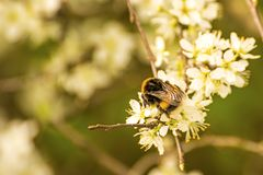 Buff-tailed bumblebee on hawthorn flower Royalty Free Stock Photos