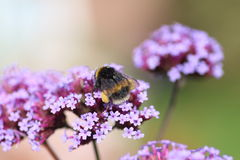 Buff-tailed Bumblebee Pollinator Royalty Free Stock Photography