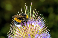 Buff-tailed bumblebee on teasel Stock Images