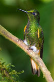 Buff Tailed Coronet royalty-vrije stock foto's