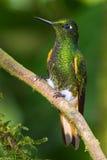 Buff Tailed Coronet. Adult Buff Tailed Coronet  Hummingbird, Perched on Branch, Tandayapa Bird Lodge, Ecuador Royalty Free Stock Photos