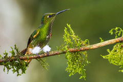 Buff Tailed Coronet Stock Photography
