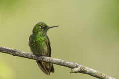 Buff-tailed Coronet hummingbird Stock Photography