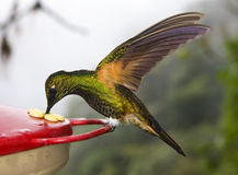 Buff-tailed Coronet Hummingbird - Ecuador. Buff-tailed Coronet Hummingbird (Boissoneaua flavescens) on a feeder in the Mindo Cloud Forest at Pichincha in Stock Image