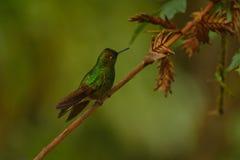 Buff-tailed coronet hummingbird Royalty Free Stock Photo
