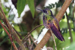 Buff-tailed Coronet, hummingbird in Ecuador Stock Photos